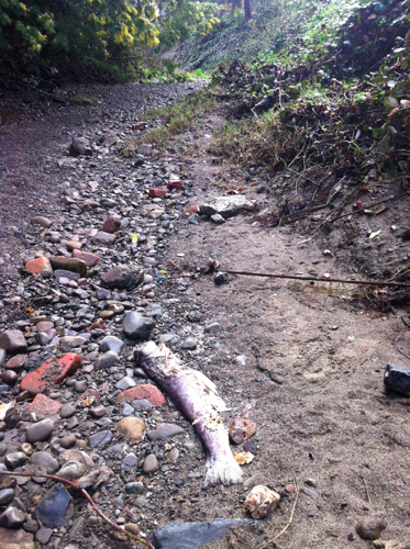 2012: two dead steelhead were found in a dewatered portion of the San Francisquito Creek. Photo courtesy of Matt Stoecker. More at Bay Nature: Steelhead trout flopping around in dried up Palo Alto creek