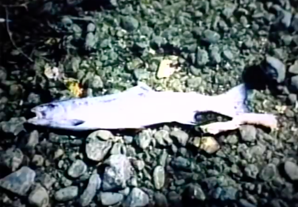 "1988: Jim Johnson of the Friends of San Francisquito Creek found two dead steelhead (approx. 30"" each) in a dewatered portion of the creek, confirming that these native fish still ""come home"" to use the waterway for seasonal spawning--even during drought years. Jim Johnson's photos and outreach efforts resulted in several subsequent actions to restore steelhead habitat. More at Palo Alto Online and YouTube: A Creek Runs Through It: The Story of the San Francisquito"