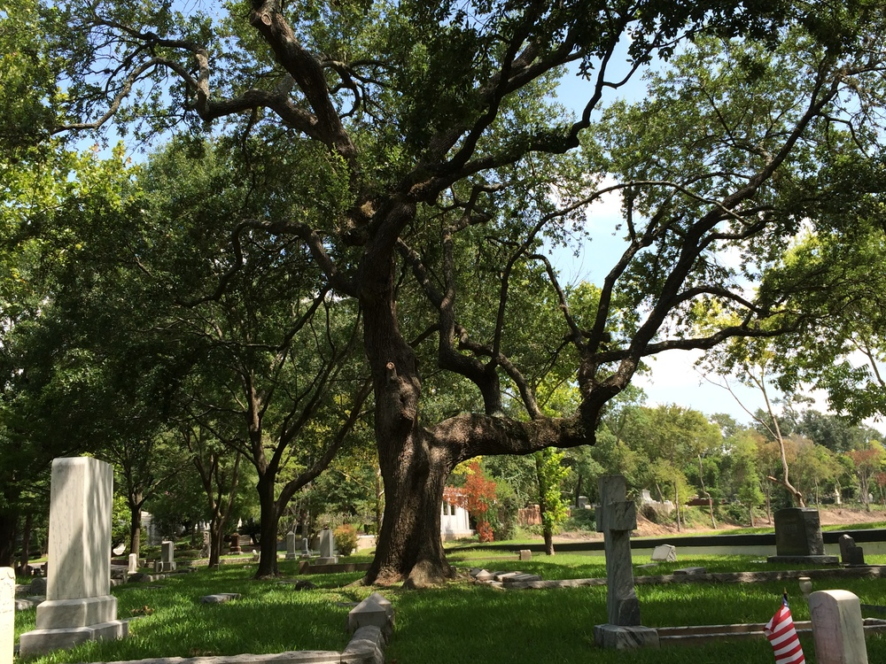 beautiful old live oaks….