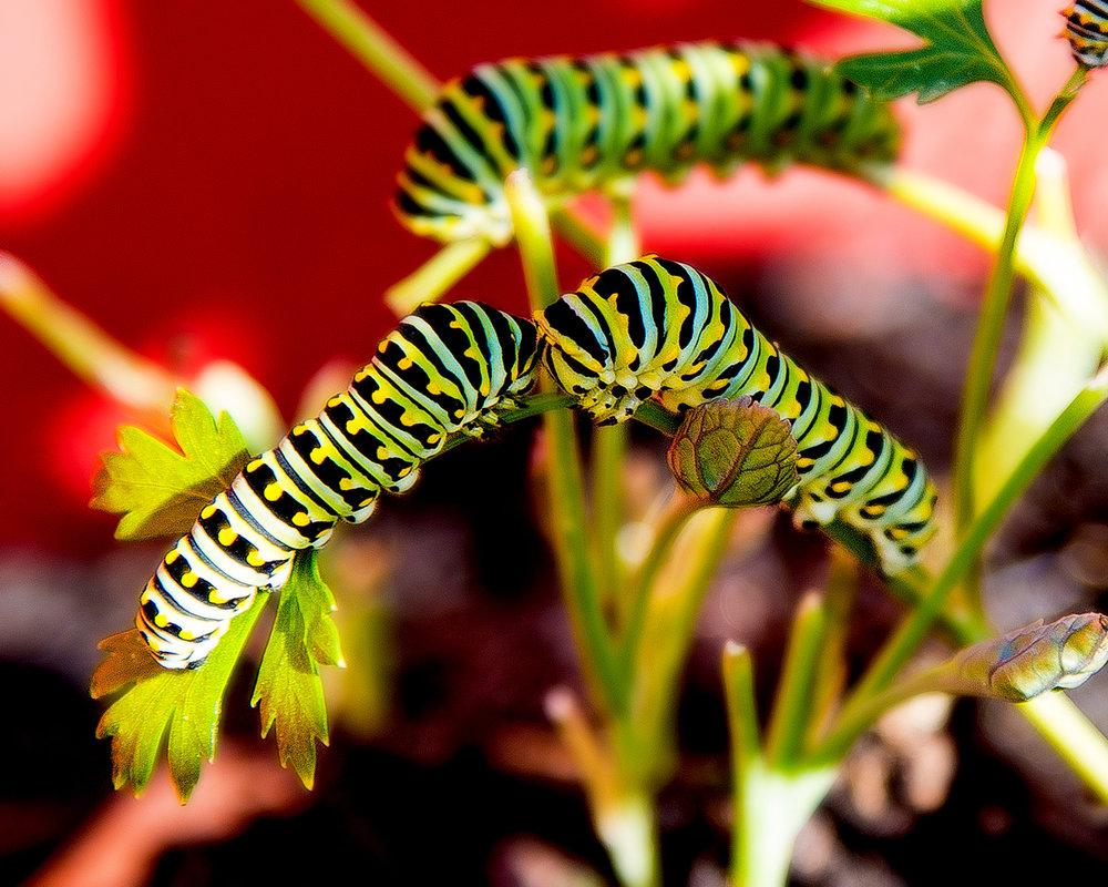 Caterpillars.jpg