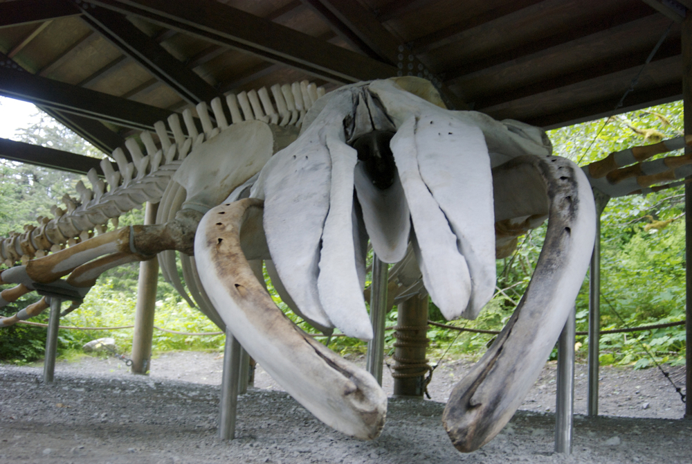 A humpback whale skeleton, Bartlett Cove, Alaska (she was hit by a cruise ship - a cause of death for many humpbacks, though still not as big of a problem as fishing gear).