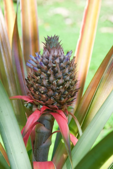 A decorative pineapple.    I never realized that the body of the pineapple had blossoms, though in retrospect it makes sense.