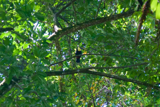 And several wild toucans.  I sat on a conveniently placed bench and watched this one for a while.  There are usually scarlet macaws around the place as well, though there were apparently elsewhere that morning.