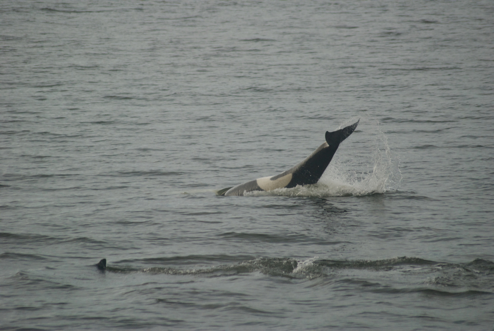 This whale from the AG pod that we watched the other day for instance is swimming on her back, slapping her tail.
