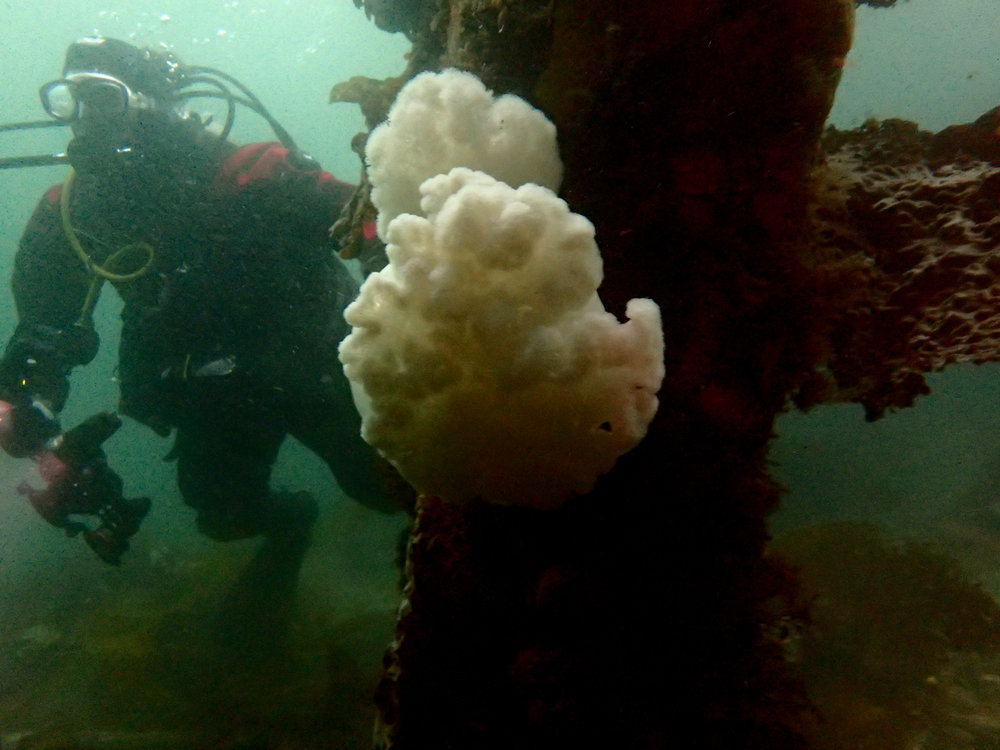 Diving with Ashley on the pier, Alert Bay BC, Canada - my new favorite dive spot