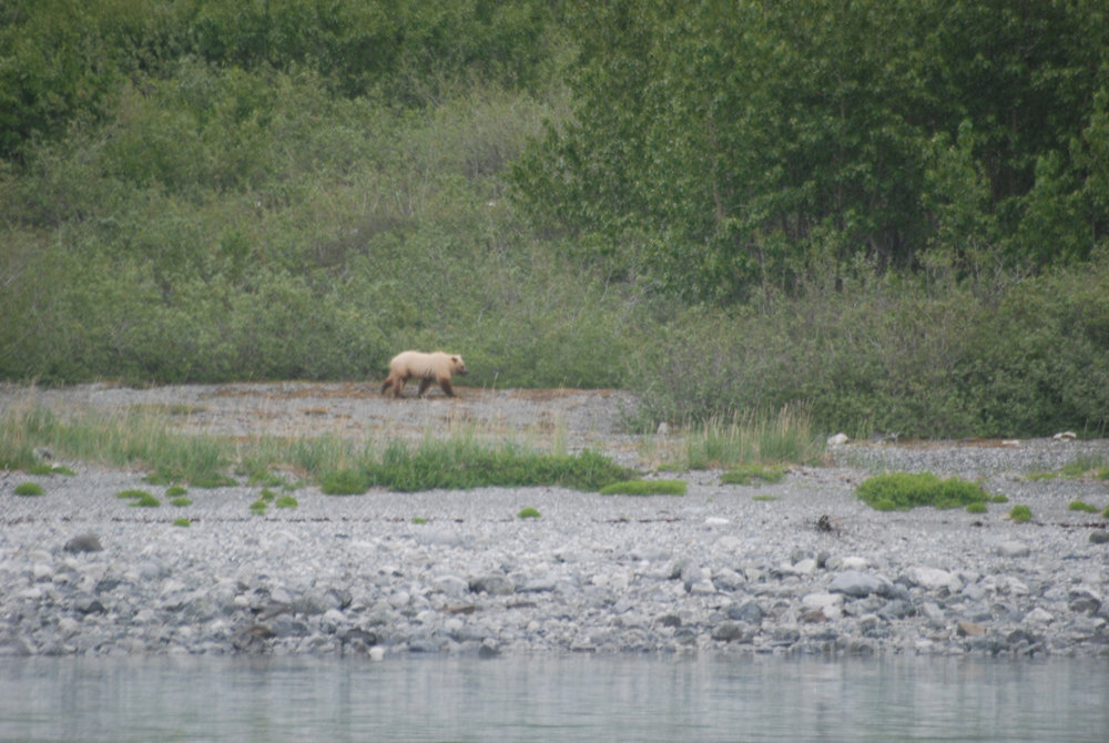 We were briefly interesting to a very blond coastal brown bear.  Glacier Bay National Park