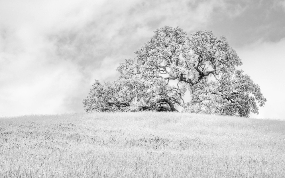 Oak tree on hillside