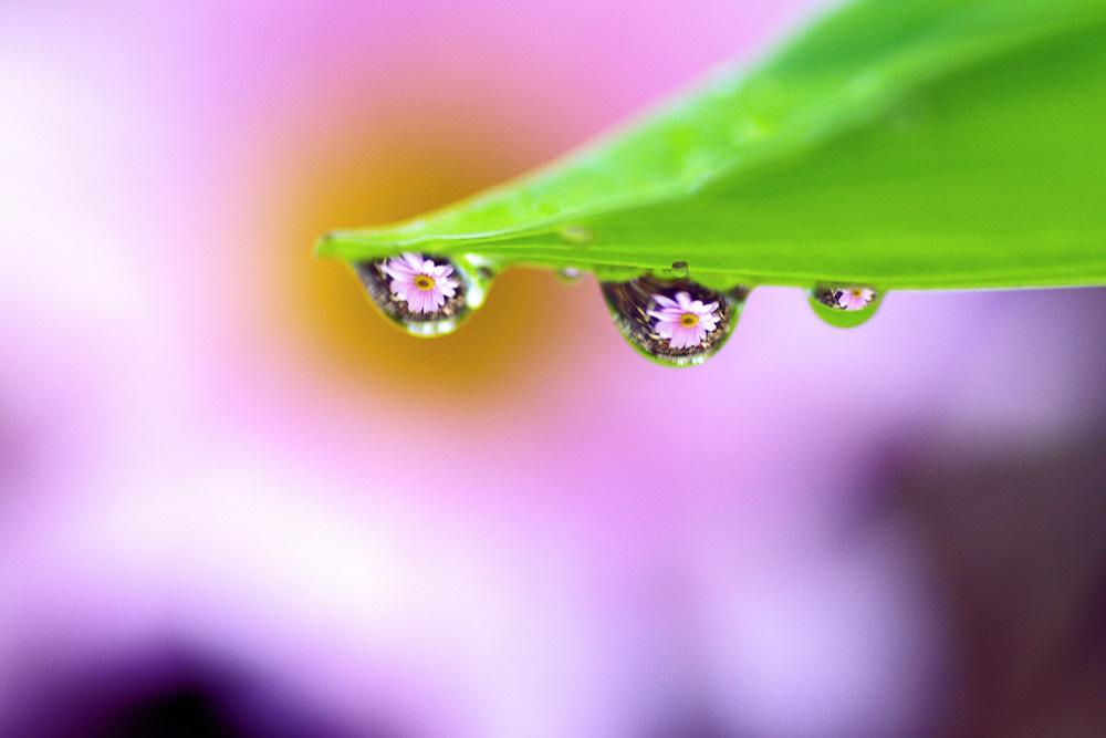 pink daisy 3 drops.jpg