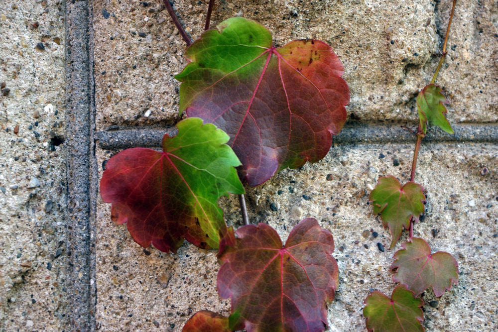 green and red ivy 100.jpg