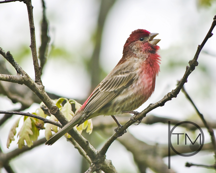 singing housefinch site.jpg