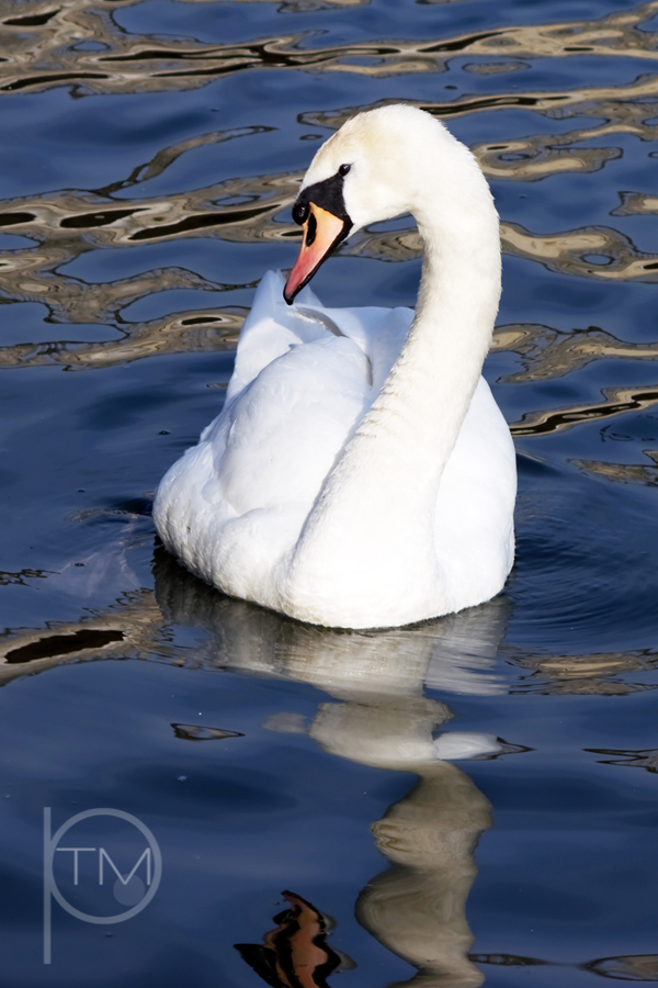 bedford swan 3 site.jpg