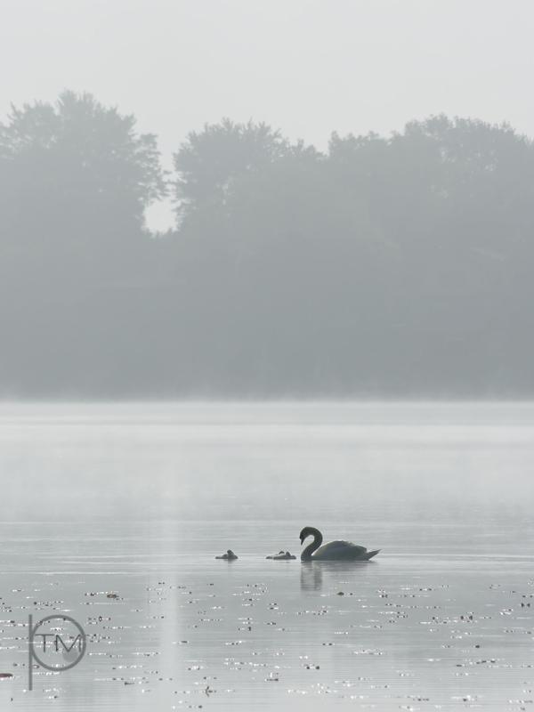 swan and babies 3  site.jpg