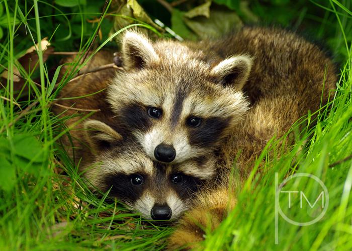 (1)raccoons site.jpg