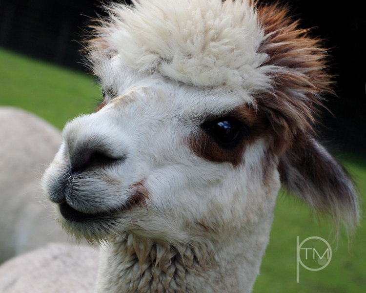 alpaca close site.jpg