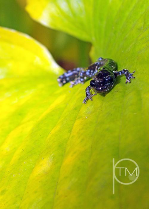 (1)salamander hosta leaf site.jpg
