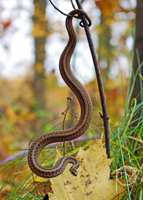 snake curl 1 site.jpg