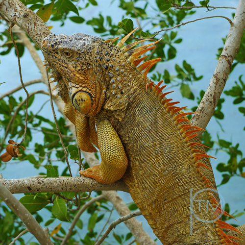 iguana tree 1 site.jpg