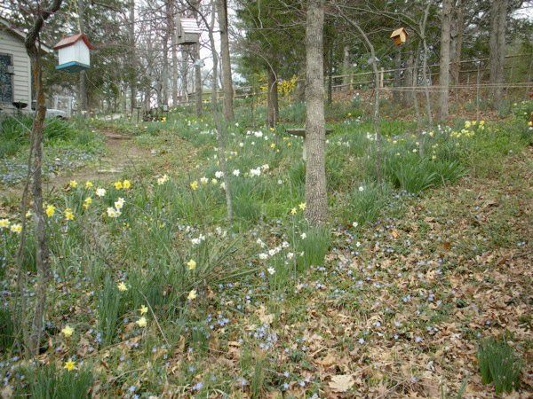 MY GARDEN IN SPRING WITH DAFFODILS BLOOMING