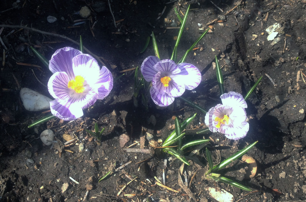 Crocuses fully bloomed