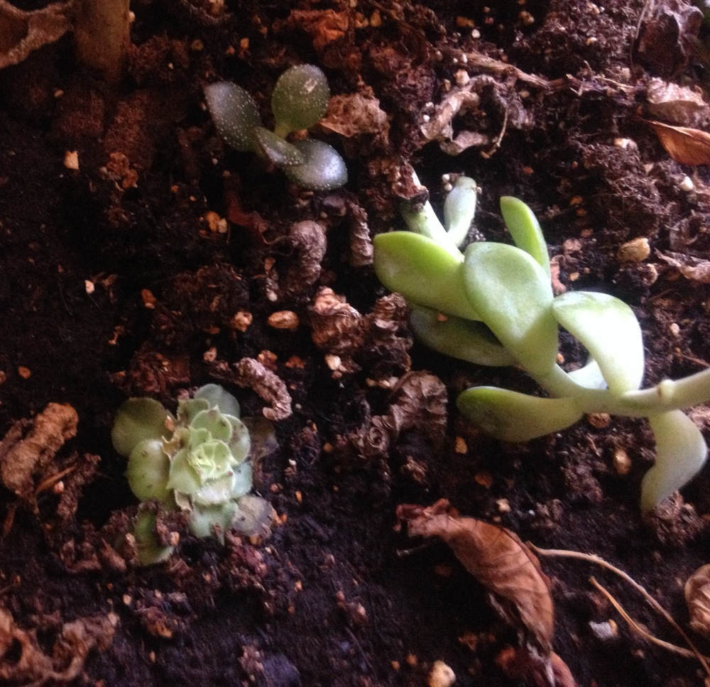 These are succulents that I replanted. SO EASY