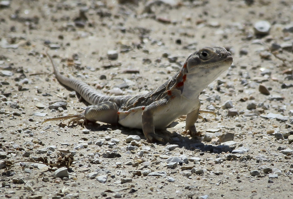 Orange spots down the length of the body designates this blunt-nosed leopard lizard as female.