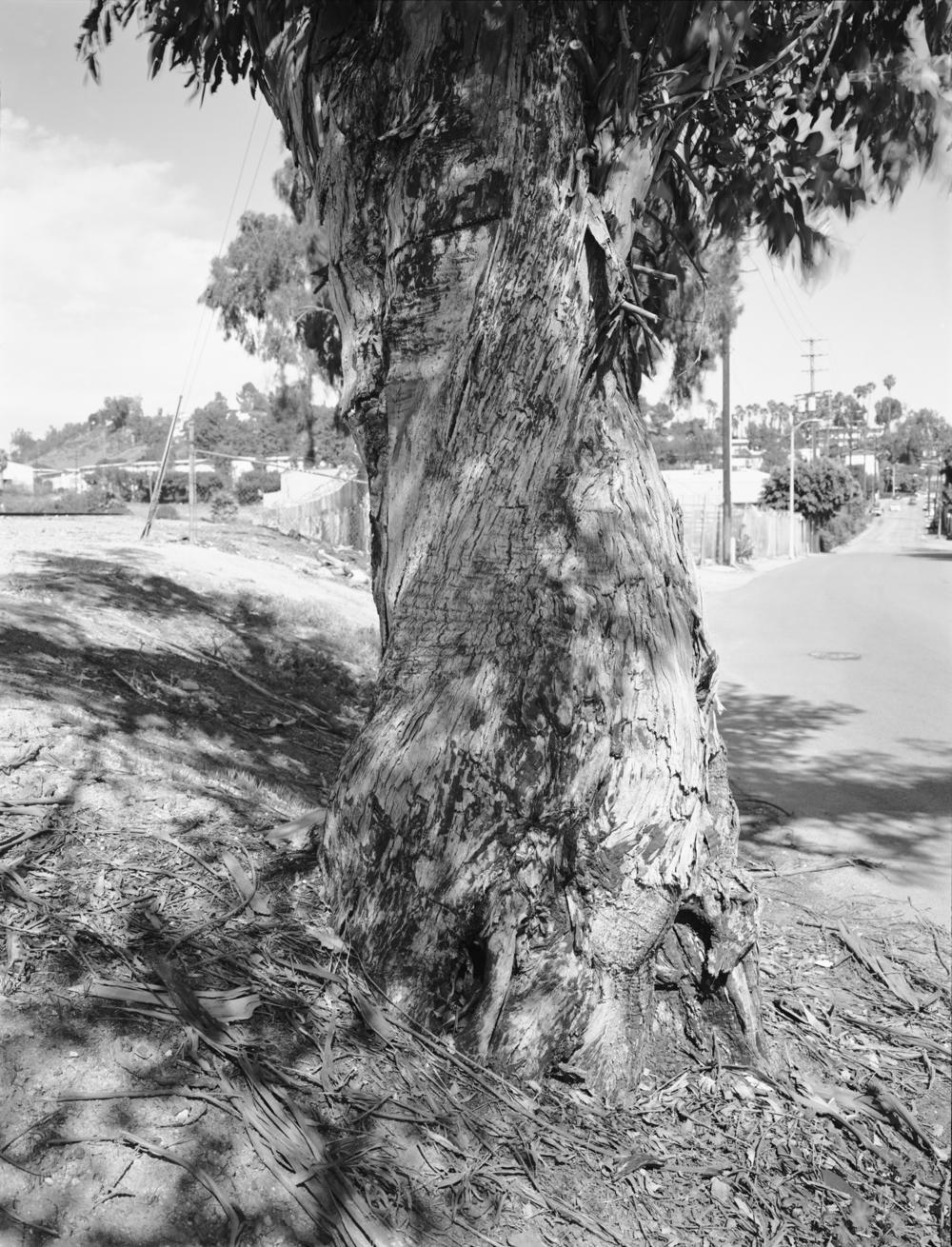 Eucalyptus, East L.A., 2014