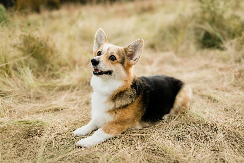 Portrait of corgi sitting down | Raleigh Dog Photographer | By G. Lin Photography