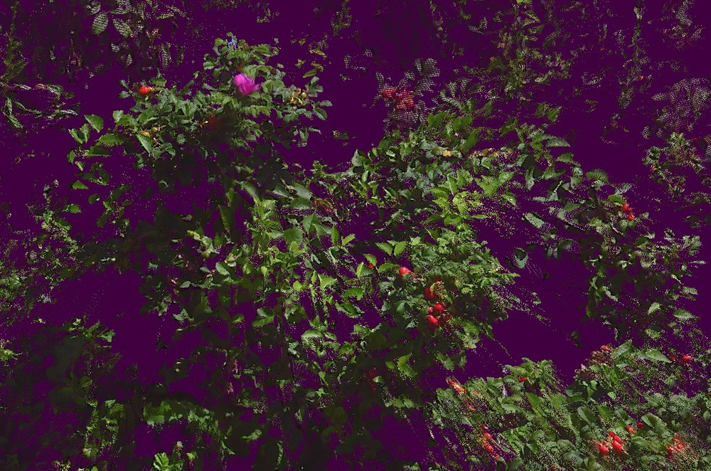 A rosa rugosa bush from a scan.