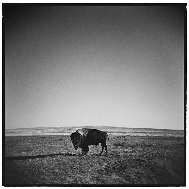 Not a cow. American Bison, Badlands National Park, South Dakota. * * * * * * @mypubliclands @usinterior #mypubliclands #keepitpublic #protectourpubliclands #findyourpark #usinterior #protectthewild #aperturefoundation #lensculture #blackandwhite #holga #filmisnotdead #mediumformat #filmphotographic #documentary #mytinyatlas #afar #thegreatoutdoors #wildernessculture #americanwest
