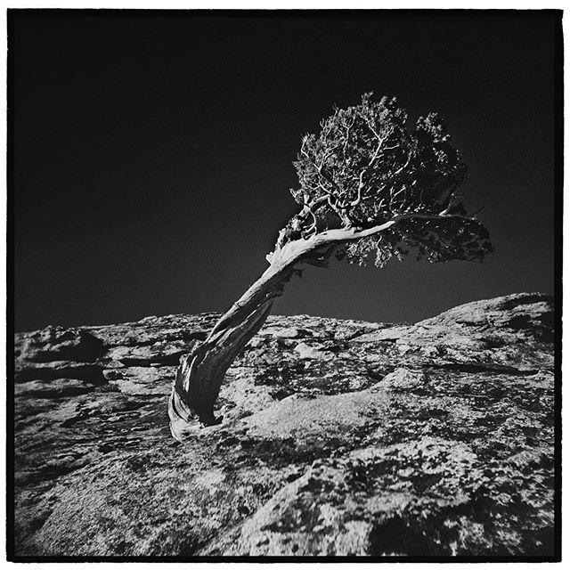 Bent by the brutal winds that sweep over the Sierra crest in winter. Sierra Juniper, Donner Peak, California. * * * * * * * * @mypubliclands @usinterior #mypubliclands #keepitpublic #protectourpubliclands #findyourpark #usinterior #protectthewild #aperturefoundation #lensculture #blackandwhite #holga #filmisnotdead #mediumformat #filmphotographic #documentary #mytinyatlas #afar #thegreatoutdoors #wildernessculture #americanwest  #truckee