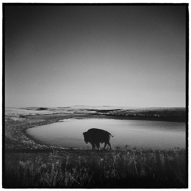 American Bison, Badlands National Park, South Dakota. * * * * * * * * * @mypubliclands @usinterior #mypubliclands #keepitpublic #protectourpubliclands #findyourpark #usinterior #protectthewild #aperturefoundation #lensculture #blackandwhite #holga #filmisnotdead #mediumformat #filmphotographic #documentary #mytinyatlas #afar #thegreatoutdoors #wildernessculture #americanwest