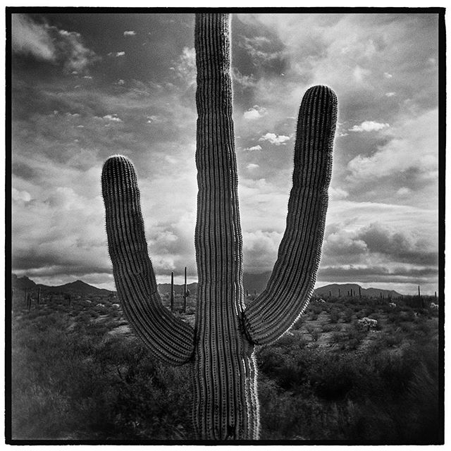 The trident of the desert, the great saguaro cactus. Sonoran Desert, Organ Pipe Cactus National Monument, Arizona. * * * * * * * * @mypubliclands @usinterior #mypubliclands #keepitpublic #protectourpubliclands #findyourpark #usinterior #protectthewild #aperturefoundation #lensculture #blackandwhite #holga #cactus #mediumformat #filmphotographic #documentary #arizona #afar #thegreatoutdoors #wildernessculture #americanwest