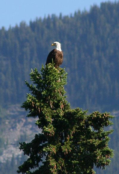 Bald Eagle on the Upper Fraser Ranch