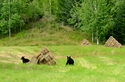 Young bears playing on the hay stacks.