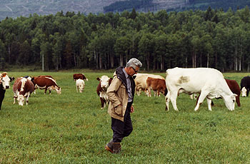 Dr. Betkowski with cow herd, Upper Fraser Ranch