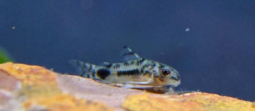 Habrosus Corydora