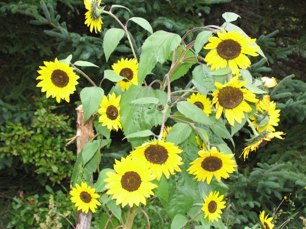 Larry's sunflowers