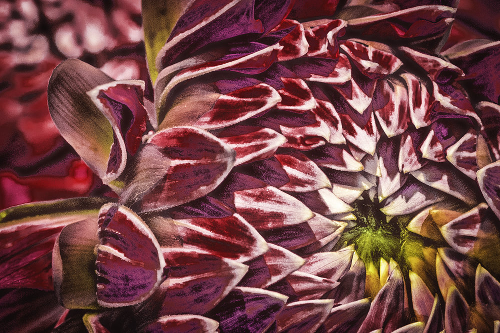 'Passionate Dahlia' available at UpTown Gallery Waterloo