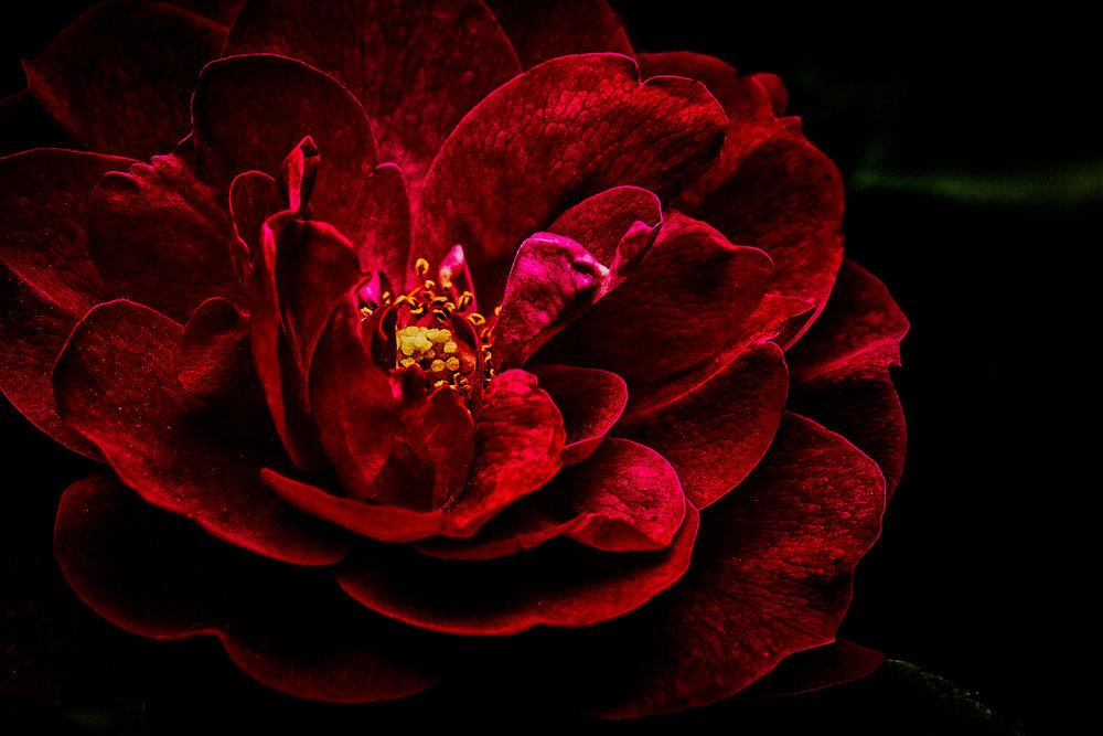 -DSC_2356 dark rose.jpg