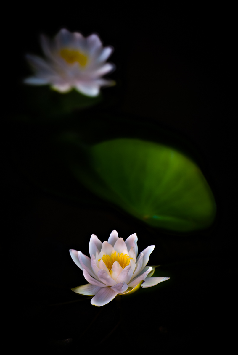 Waterlily Duo -
