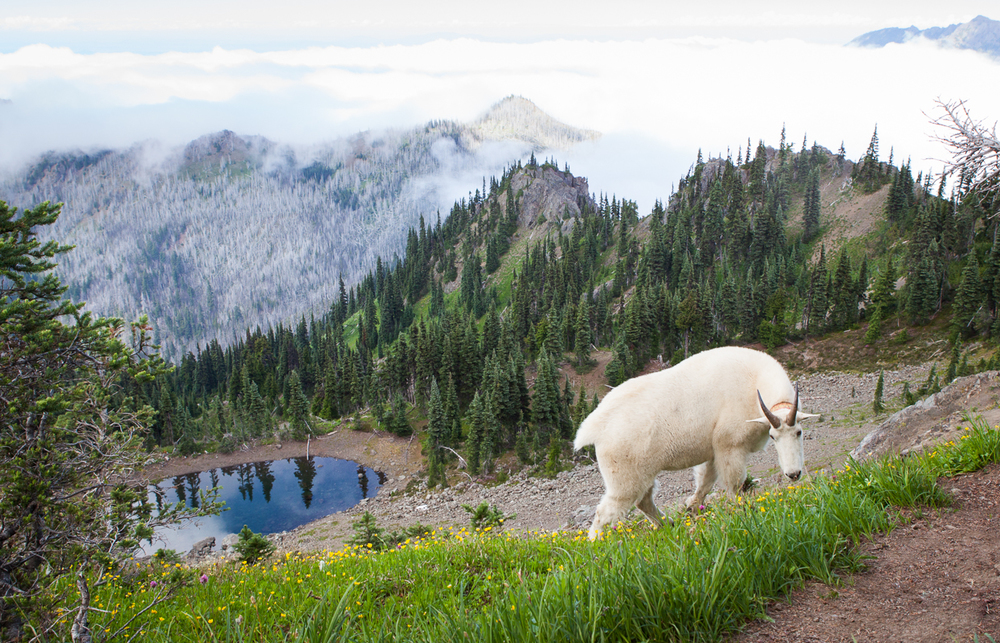Goat chilling in Hurricane Ridge, Olympic National Park
