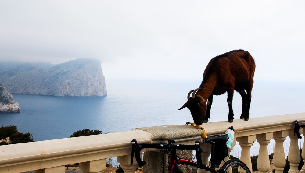 Friendly mountain goats at Cap de Formentor, Mallorca