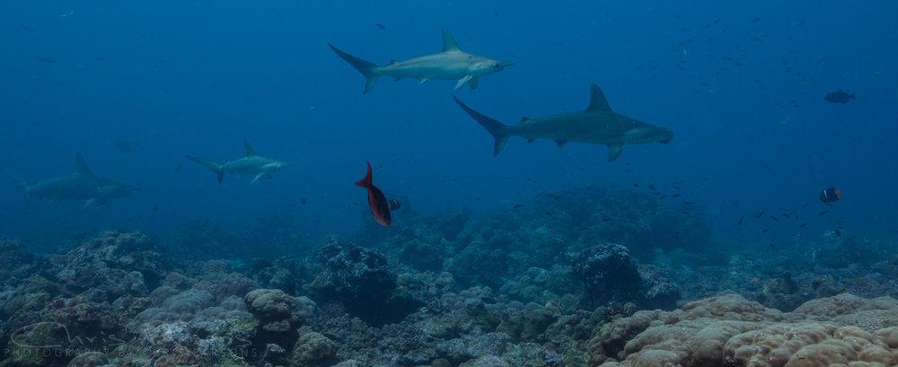 Hammerheads cruising over the reef.