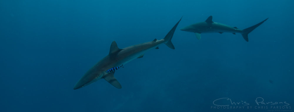 A pair of silky sharks hanging out near the Galapagos Sky.