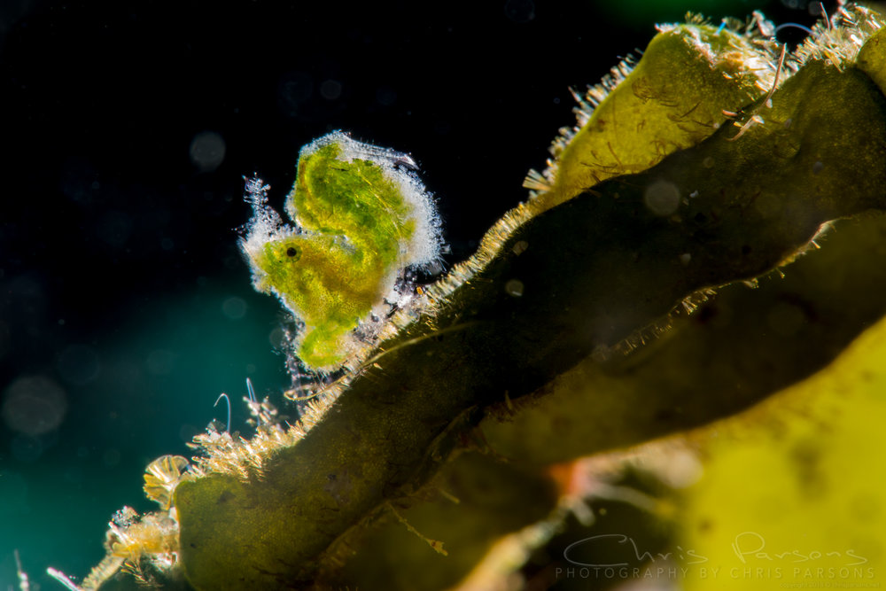 The super tiny green shrimp with backlighting.