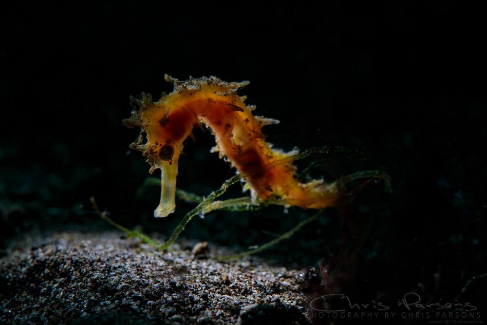 Some different lighting on this seahorse, shot with a snoot positioned above and slightly behind the subject.