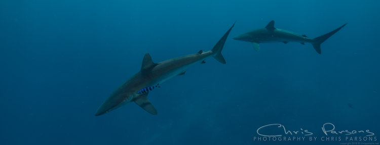 A pair of Silky Sharks gliding in the blue