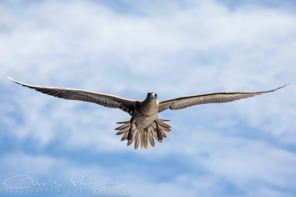 Booby in flight - this is why we bring. a long lens