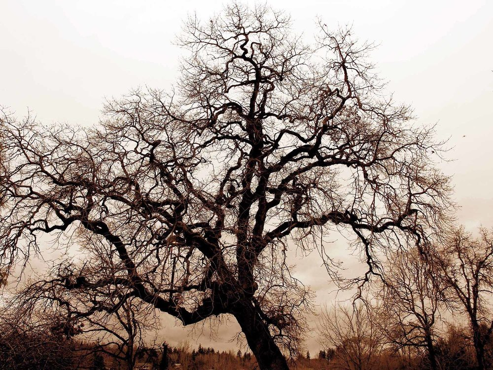 Bare_Oak_Tree.jpg