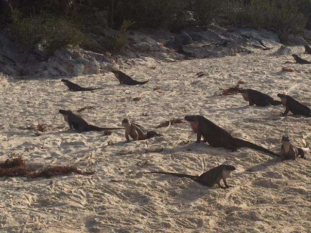 iguana on beach.jpg